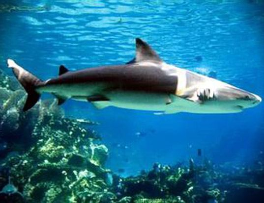 Picture of a nervous shark (Carcharhinus cautus)