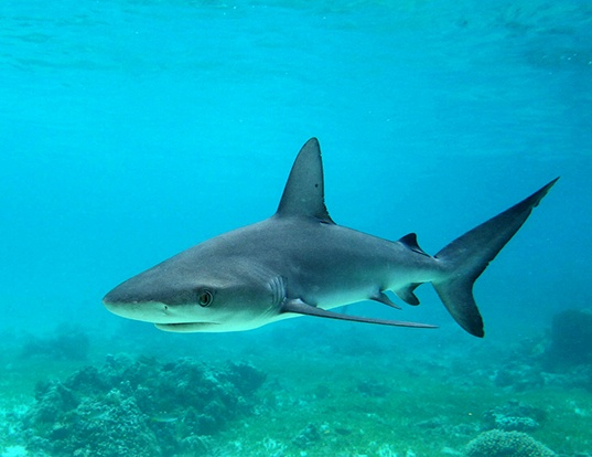 Picture of a galapagos shark (Carcharhinus galapagensis)