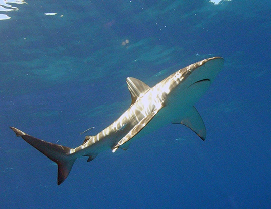 Picture of a finetooth shark (Carcharhinus isodon)