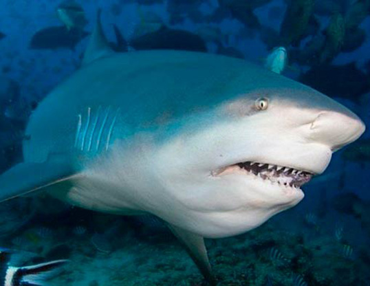 Picture of a bull shark (Carcharhinus leucas)