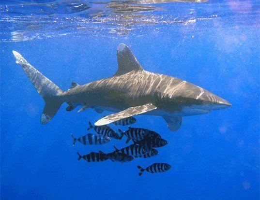 Picture of a oceanic whitetip shark (Carcharhinus longimanus)