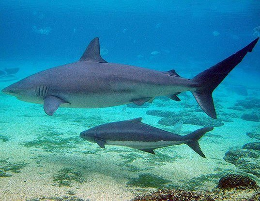 Picture of a dusky shark (Carcharhinus obscurus)