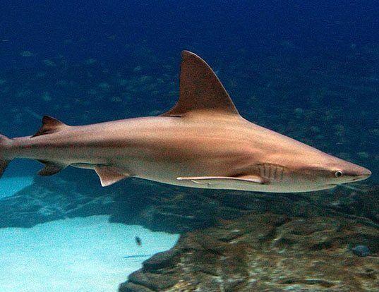 Picture of a sandbar shark (Carcharhinus plumbeus)