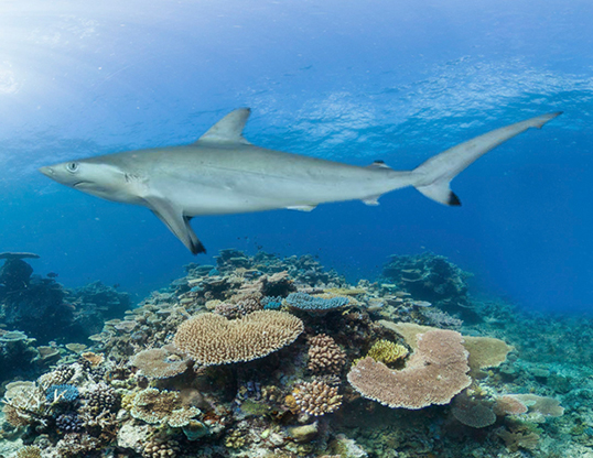 Picture of a spot-tail shark (Carcharhinus sorrah)