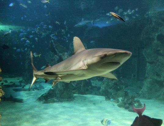 Picture of a australian blacktip shark (Carcharhinus tilstoni)