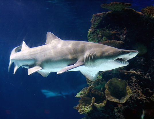 Picture of a sand tiger shark (Carcharias taurus)