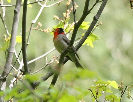 Picture of a red-faced warbler (Cardellina rubrifrons)