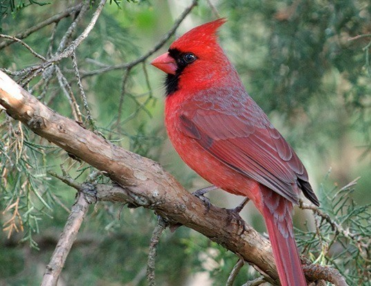 Picture of a northern cardinal (Cardinalis cardinalis)