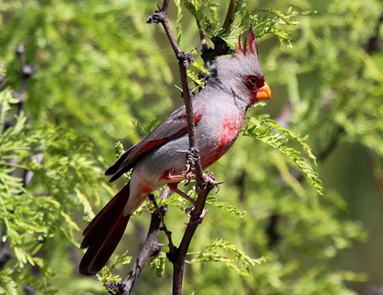 Picture of a desert cardinal (Cardinalis sinuatus)
