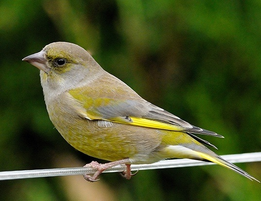 Picture of a european greenfinch (Carduelis chloris)