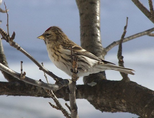 Picture of a redpoll (Carduelis flammea)