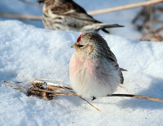 Picture of a hoary redpoll (Carduelis hornemanni)