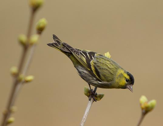 Picture of a eurasian siskin (Carduelis spinus)
