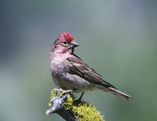 Picture of a cassin's finch (Carpodacus cassinii)