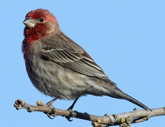 Picture of a house finch (Carpodacus mexicanus)
