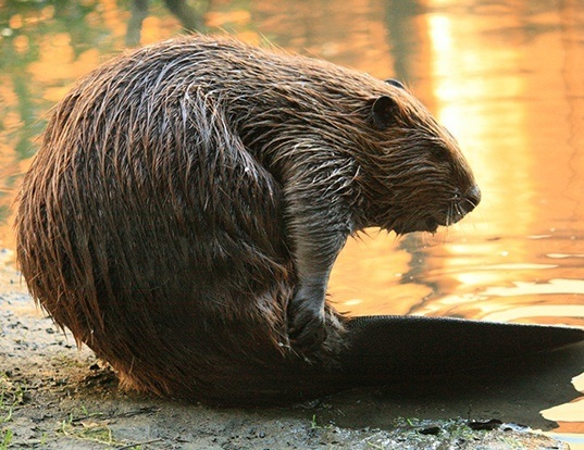 Picture of a american beaver (Castor canadensis)