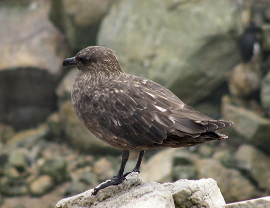 Picture of a brown skua (Catharacta antarctica)