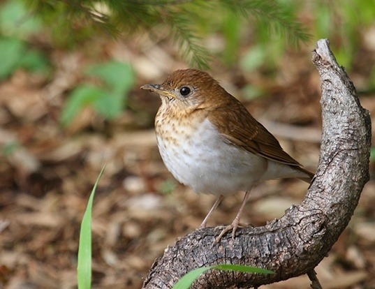 Picture of a veery (Catharus fuscescens)