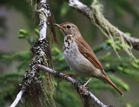 Picture of a hermit thrush (Catharus guttatus)