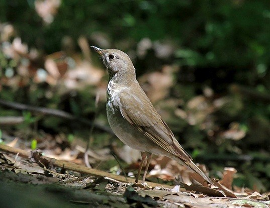Picture of a gray-cheeked thrush (Catharus minimus)