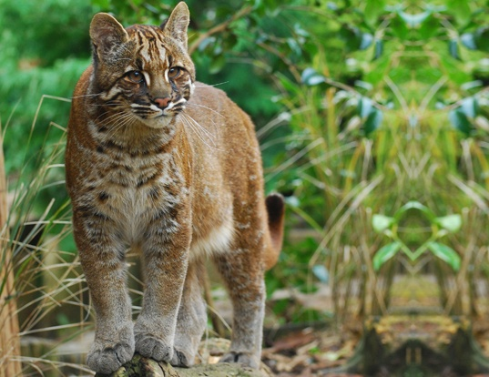 Picture of a asiatic golden cat (Catopuma temminckii)