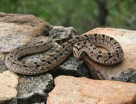 Picture of a or rhombic night adder (Causus rhombeatus)