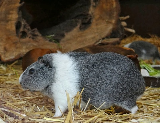 Picture of a guinea pig (Cavia porcellus)