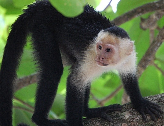 WHITE-THROATED CAPUCHIN LIFE EXPECTANCY