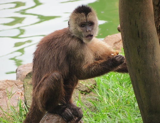 Picture of a weeper capuchin (Cebus olivaceus)