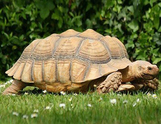 Picture of a african spurred tortoise (Centrochelys sulcata)
