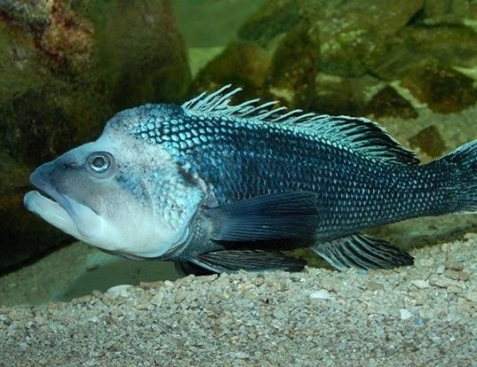 Picture of a black sea bass (Centropristis striata)