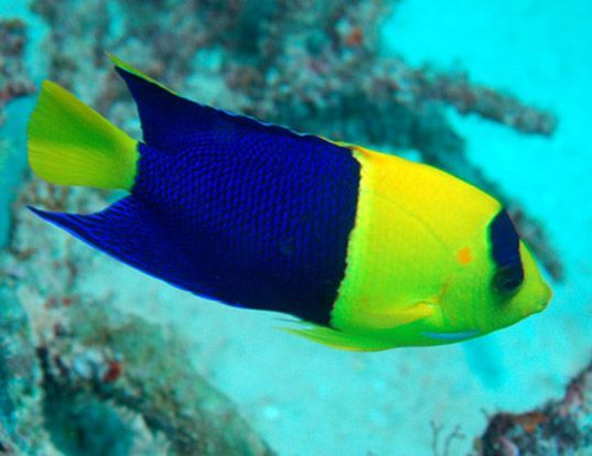 Picture of a bicolor angelfish (Centropyge bicolor)
