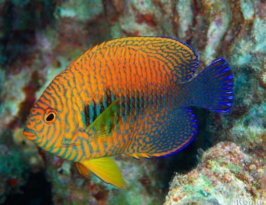 Picture of a russet angelfish (Centropyge potteri)