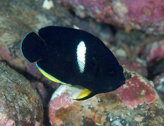 Picture of a black angelfish (Centropyge tibicen)
