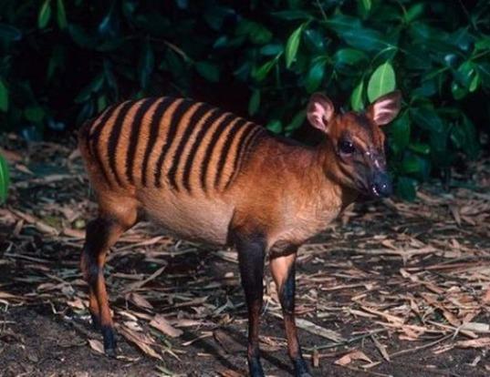 Picture of a zebra duiker (Cephalophus zebra)