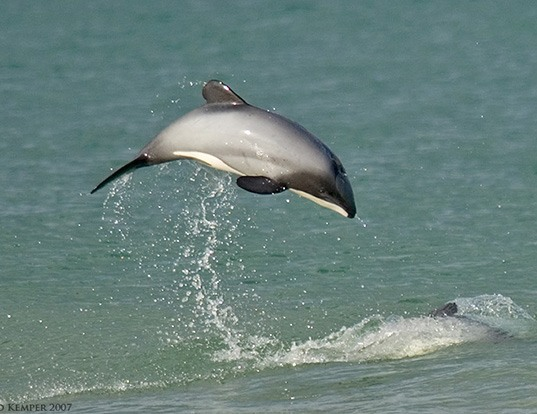 Picture of a hector's dolphin (Cephalorhynchus hectori)