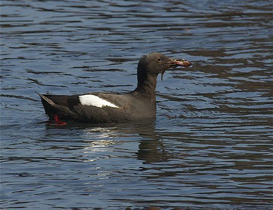 Picture of a pigeon guillemot (Cepphus columba)