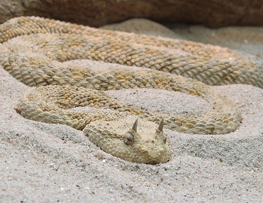 Picture of a desert horned viper (Cerastes cerastes)