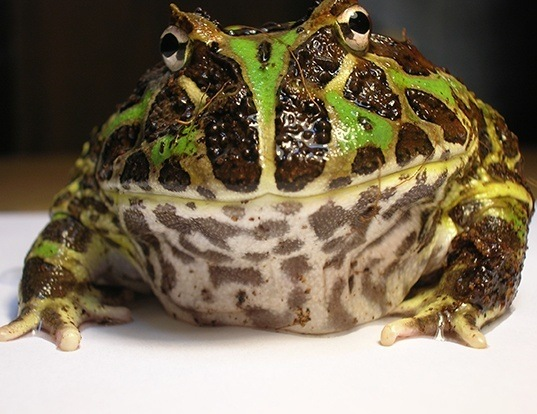 Picture of a argentina horned frog (Ceratophrys ornata)
