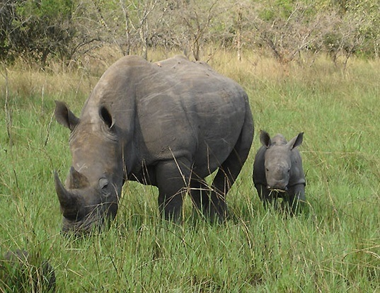 Picture of a white rhinoceros (Ceratotherium simum)