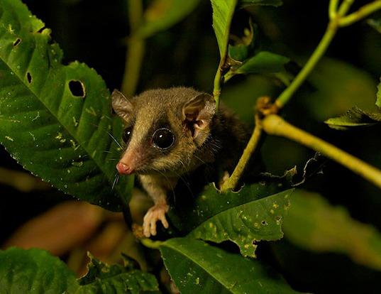 Picture of a long-tailed pygmy possum (Cercartetus caudatus)