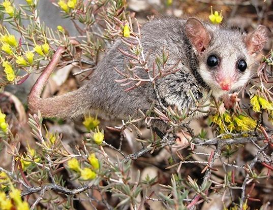 Picture of a eastern pygmy possum (Cercartetus nanus)