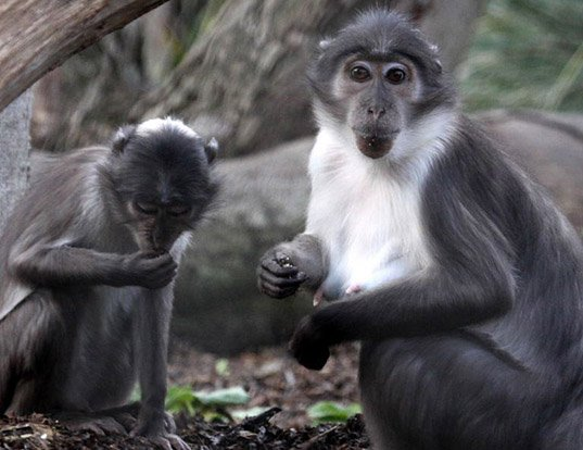 Picture of a sooty mangabey (Cercocebus atys)