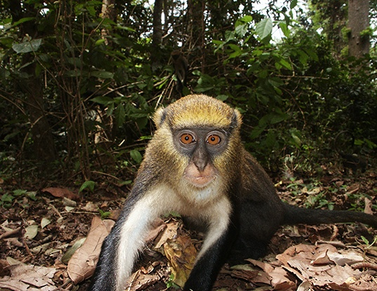 Picture of a campbell's monkey (Cercopithecus campbelli)