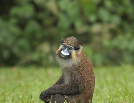 Picture of a moustached monkey (Cercopithecus cephus)