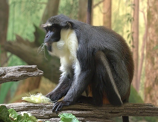 Picture of a diana monkey (Cercopithecus diana)