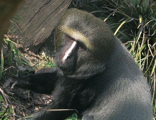 Picture of a owl-faced monkey (Cercopithecus hamlyni)