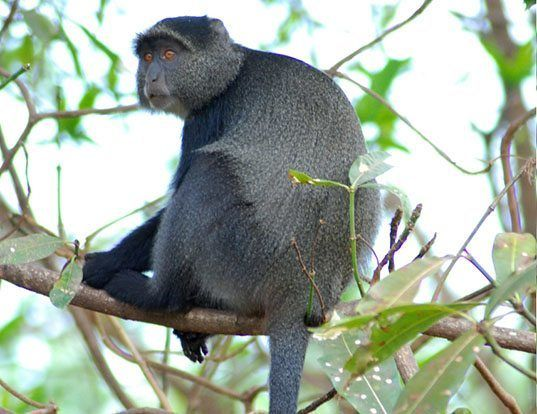 Picture of a blue monkey (Cercopithecus mitis)