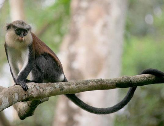 Picture of a mona monkey (Cercopithecus mona)