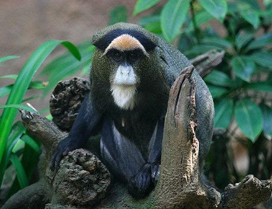 Picture of a de brazza's monkey (Cercopithecus neglectus)